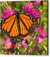 Monarch Feeding Acrylic Print