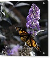 Monarch In Backlighting Acrylic Print by Rob Travis