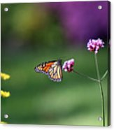 Monarch In Fall Garden 2011 Acrylic Print