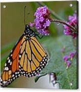 Monarch In The Rain Acrylic Print