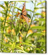Monarch Is Indeed King Of The Butterflies Acrylic Print by Dustie Meads