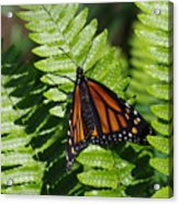 Monarch On A Fern Acrylic Print