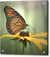 Monarch On A Black Eyed Susan Acrylic Print