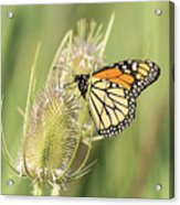 Monarch On A Thistle  Acrylic Print
