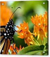 Monarch On Asclepias Acrylic Print