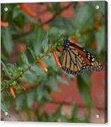 Monarch On Cigar Plant Acrylic Print
