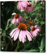 Monarch On Coneflower Acrylic Print