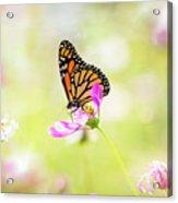 Monarch On Cosmos Acrylic Print