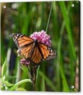 Monarch On Joe Pye Acrylic Print