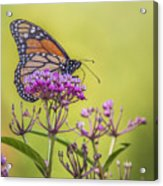 Monarch On Pink Flower Acrylic Print