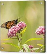 Monarch On Swamp Milkweed 2014-1 Acrylic Print