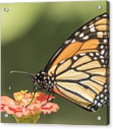Monarch On Zinnia 4-2015 Acrylic Print