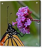 Monarch Purple Acrylic Print