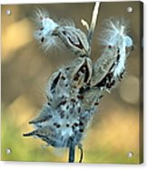 Monarch Seeds Acrylic Print