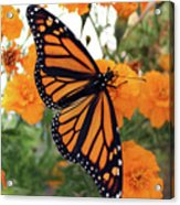 Monarch Series 1 Acrylic Print