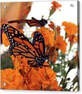 Monarch Series 4 Acrylic Print