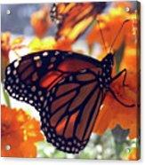 Monarch Series 7 Acrylic Print