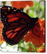 Monarch Series 8 Acrylic Print