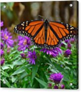 Monarch Spreading Its Wings Acrylic Print