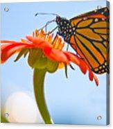 Monarch Working Acrylic Print