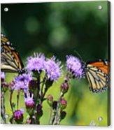 Monarchs And Blazing Star Acrylic Print