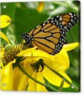 Monarchs Gold Acrylic Print