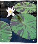 Monet Lilies White  Acrylic Print