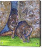 Mongoose #511 Acrylic Print
