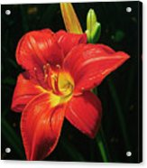Monikas Red Lily Acrylic Print