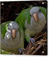 Monk Parakeet Pair Acrylic Print by Larry Linton
