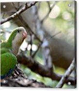 Monk Parrot Acrylic Print
