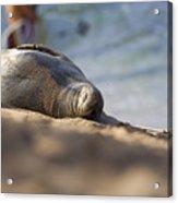 Monk Seal Basking. Acrylic Print