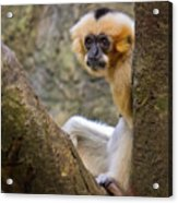 Monkey Chillin Acrylic Print