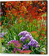 Yellow-orange Kangaroo Paws And Sea Lavender By Napier At Pilgrim Place In Claremont-california Acrylic Print