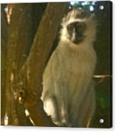 Monkey In The Tree Acrylic Print