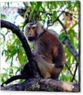 Monkey In Tree Acrylic Print
