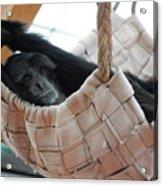 Monkey Play Acrylic Print