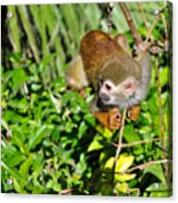 Monkey Time Acrylic Print