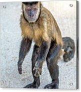 Monkey_0726 Acrylic Print