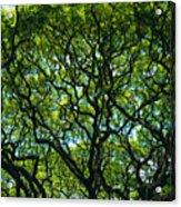 Monkeypod Canopy Acrylic Print