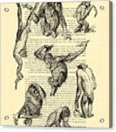 Monkeys Black And White Illustration Acrylic Print