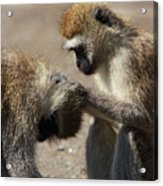 Monkeys Grooming Acrylic Print
