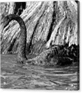Monochrome Swimming Black Swan Acrylic Print