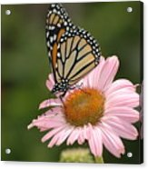 Monorch Butterfly Acrylic Print