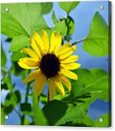 Monsoon Sunflower Acrylic Print