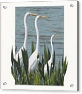 Montage With 3 Great White Egrets Acrylic Print