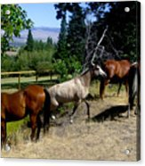 Montana Horses Acrylic Print