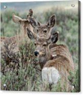 Montana Mule Deer On A Spring Night Acrylic Print