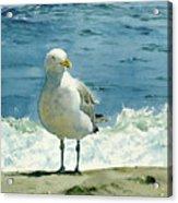 Montauk Gull Acrylic Print by Tom Hedderich