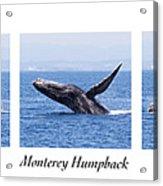 Monterey Humpback Acrylic Print